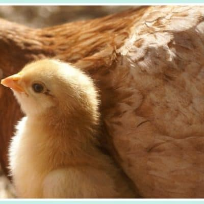 Your broody hen wants to hatch chicks. Here's three good reasons to let her!