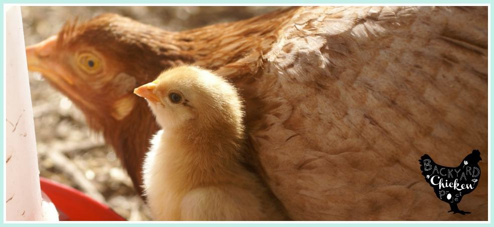 Your broody hen should hatch chicks, here's why