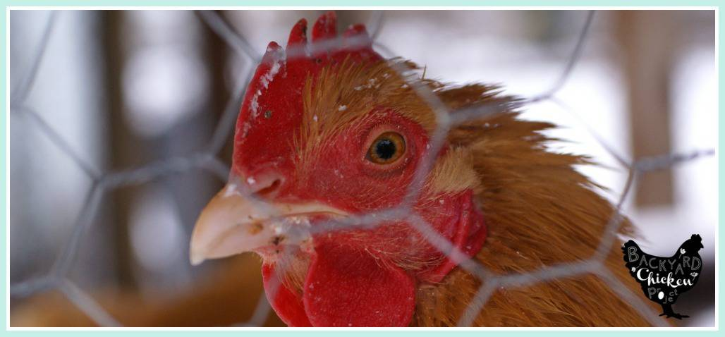 The Safe Chicken Coop: Protecting your flock from predators