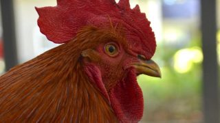 What do you do when your formerly sweet rooster starts misbehaving?