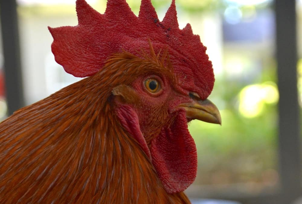 When good roosters go bad: Dealing with a mean rooster