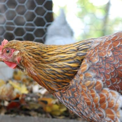 The Wyandotte chicken is an excellent breed choice for most chicken keepers. Find out why we love Wyandottes!