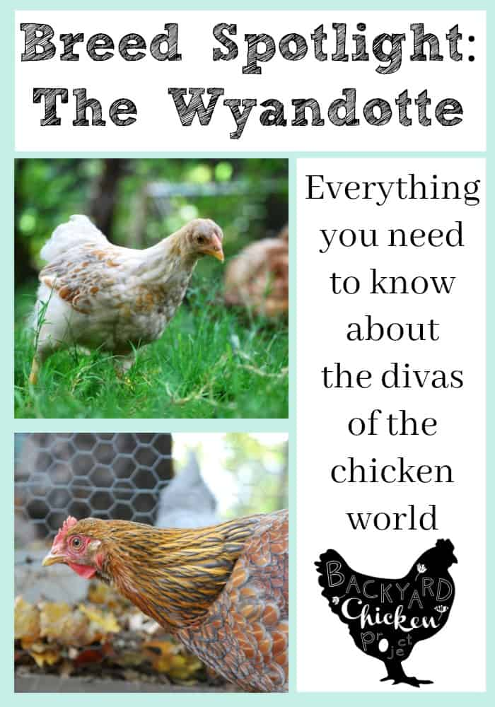 There's no doubt Wyandotte chickens are the divas of the chicken world. Find out why!