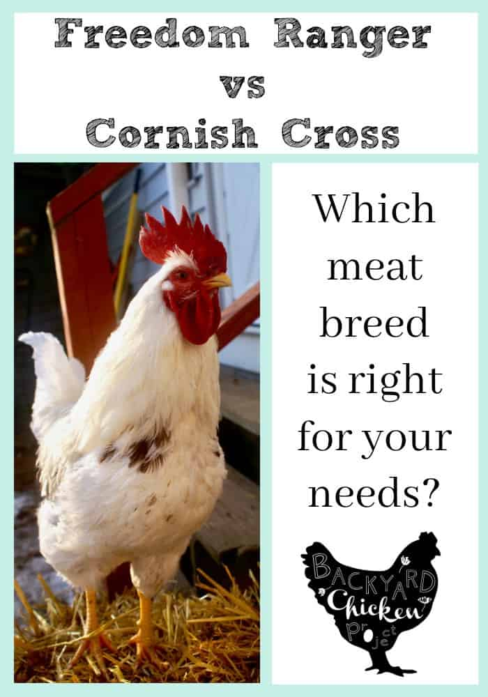 Freedom Rangers vs Cornish Cross, which broiler chicken breed is right for you?
