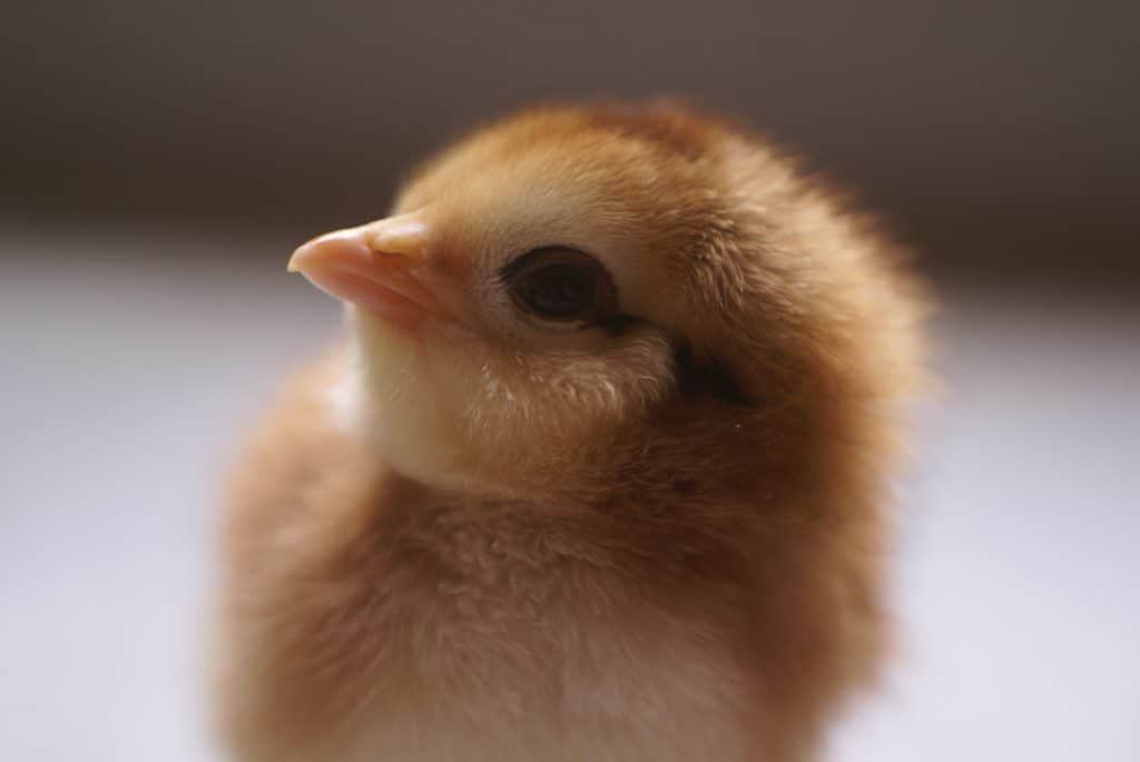 Naming chickens can be so hard! We've made it easy with hundreds of awesome names perfect for your little fluff ball!
