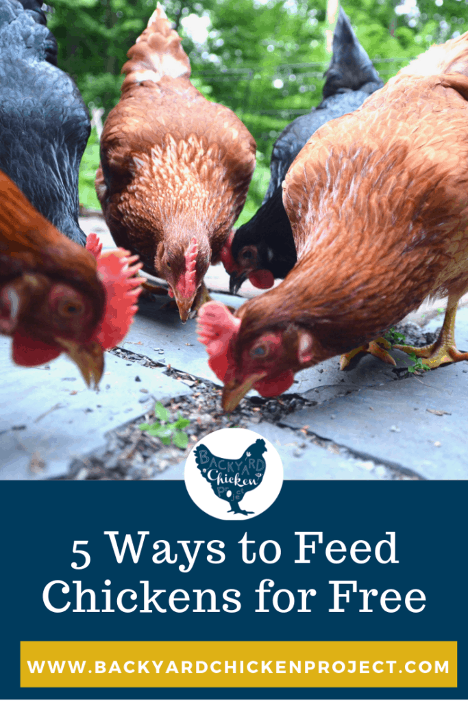 Want to know what to feed chickens for FREE? There are many free chicken feed ideas to supplement your feed bill. You just need to get creative! #homesteading #homestead #backyardchickens #chickens #raisingchickens #poultry