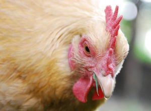5 Ways to Feed Chickens for Free