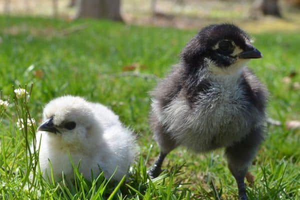 A Dozen Little Known Chicken Facts