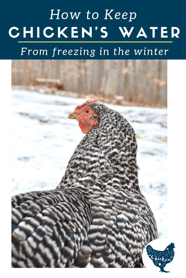 One of the biggest challenges with raising chickens in the winter is how to keep chicken water from freezing. Learn our tips to manage frozen water (even without a heated chicken waterer!)