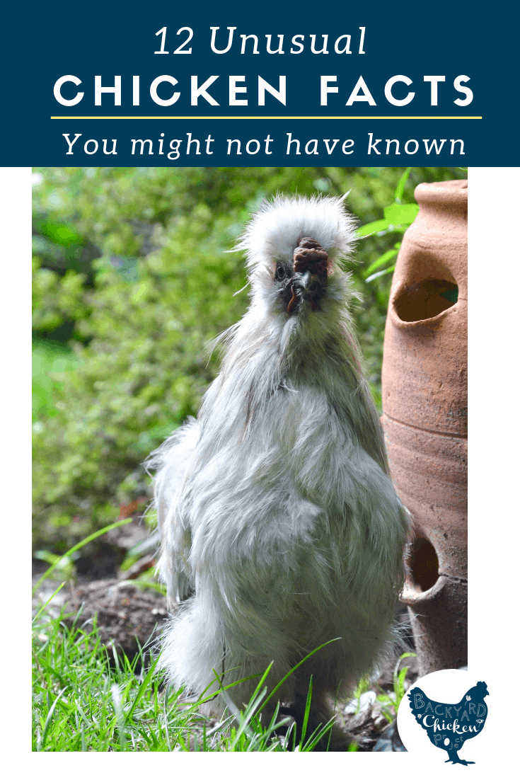 Do you know how many different sounds a chicken can make, or what determines their egg color? Find out the answers to these and more in our 12 little known facts about chickens post!