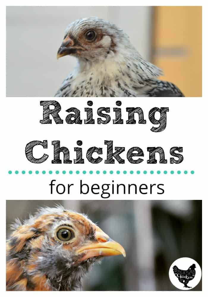 There's a lot of information out there about raising chickens, but that much info. can be overwhelming! We make it easy for you to pick up the basics, with raising chickens for beginners.