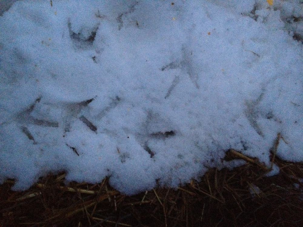 Raising Chickens in Winter: Dealing with Frozen Water