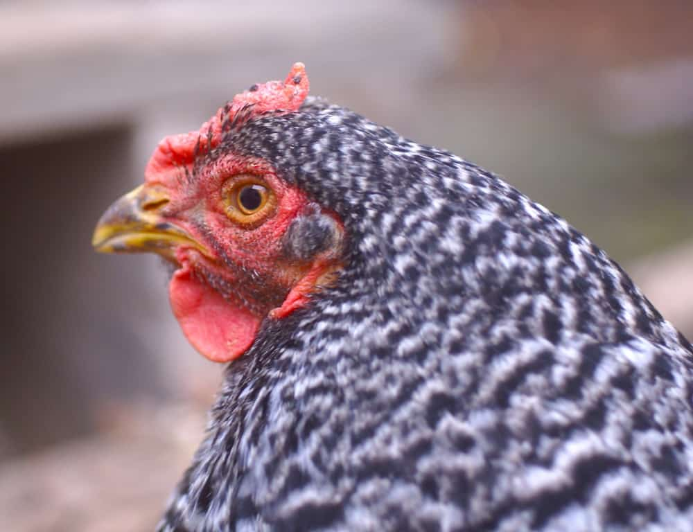 The Best Cold Hardy Chicken Breeds