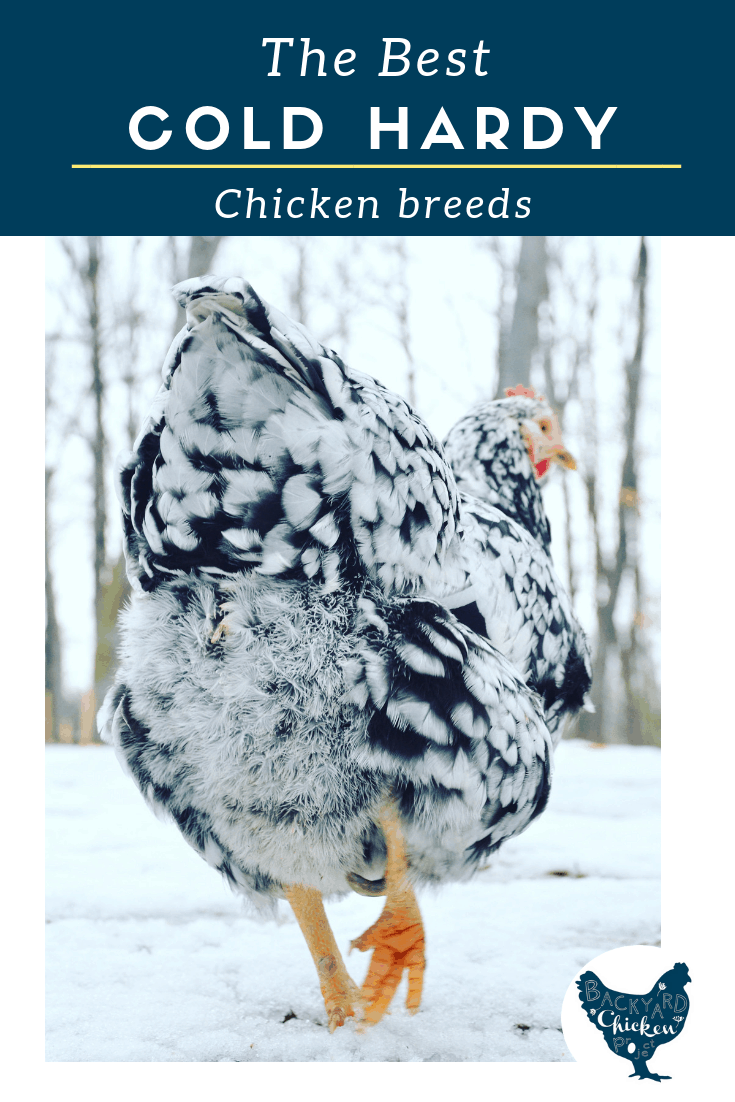 If you live in a cold climate, you're going to need some cold hardy chicken breeds to add to your flock!