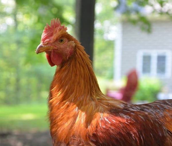 If you live in a cold climate, you'll want some cold hardy chicken breeds! Find out our favorite cold hardy chicken picks!