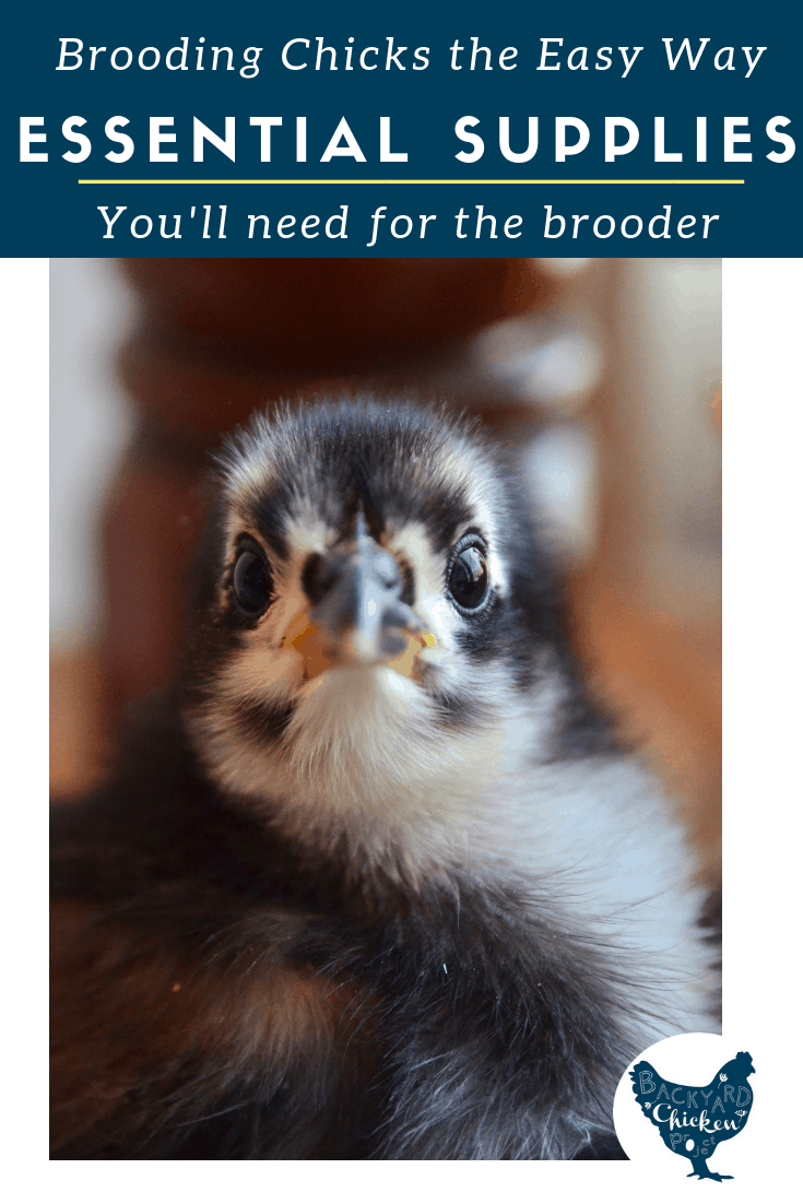 Brooding chicks doesn't need to be expensive or difficult. These 5 essential supplies are cheap, easy to find, and quick to set up!