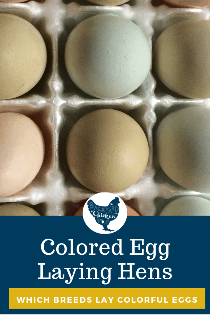 Who needs Easter egg dye when many chicken breeds lay colored eggs! You may have coveted the gorgeous baskets full of blue, green, pink, and cream colored eggs in the past, but guess what? Those chicken egg colors could be coming out of your very own backyard, you just need to know which breeds lay colorful eggs! #chicken #breed #eggcolors #backyardchickens #chickenbreeds #poultry #homesteading