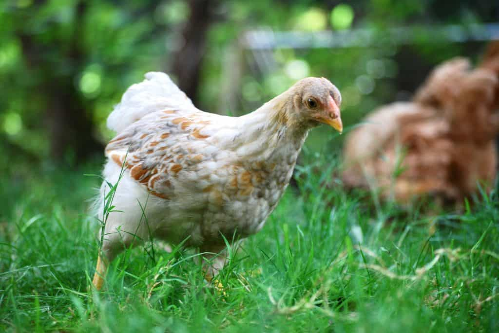Should you free range chickens? What are the benefits and drawbacks? What choice is right for you? All of these questions and more are answered in this post.