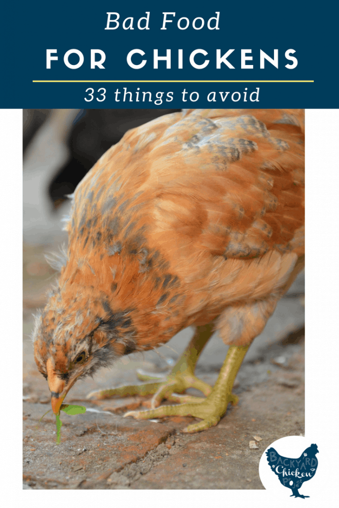 Chickens are omnivores and can eat a surprising number of things, but here's what NOT to feed chickens!