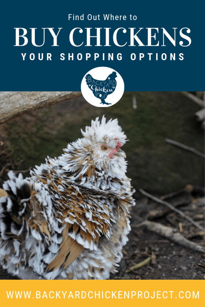 "If you're just getting started with chicken keeping, you may be asking yourself, ""Where can I buy chickens?"" Well, we have plenty of options for you! #homesteading #homestead #backyardchickens #chickens #raisingchickens #poultry"