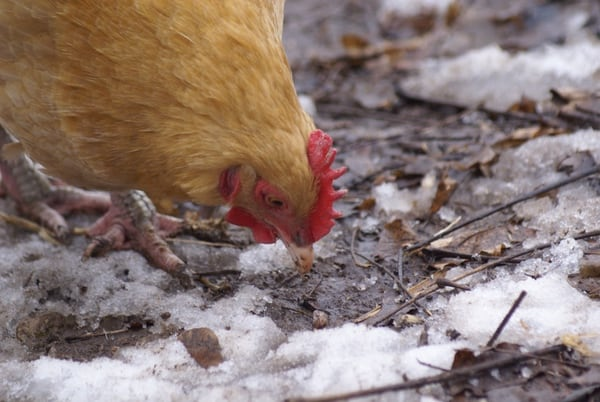 Hearty Winter Foods for Chickens