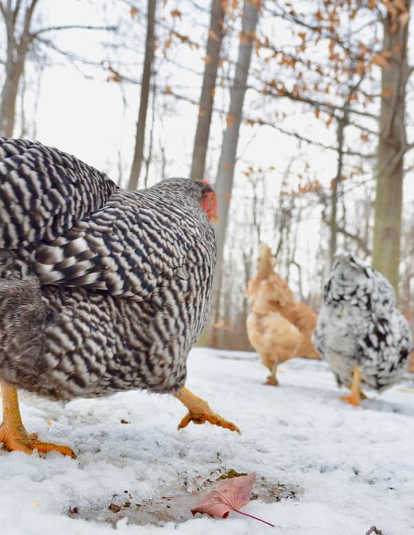 Have you heard? Winter is coming. It's time to prep your chickens for this brutal season. Our ultimate guide has you covered!