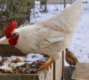 12 Winter Chicken Keeping Mistakes to Avoid This Season