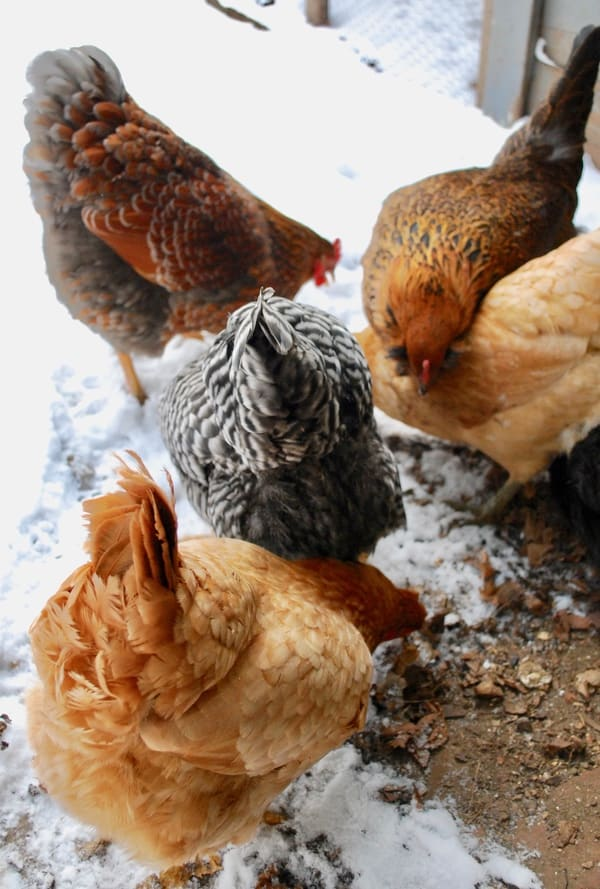Are you making these winter chicken keeping mistakes? Check our list and make adjustments so your chickens can live their best life this winter!
