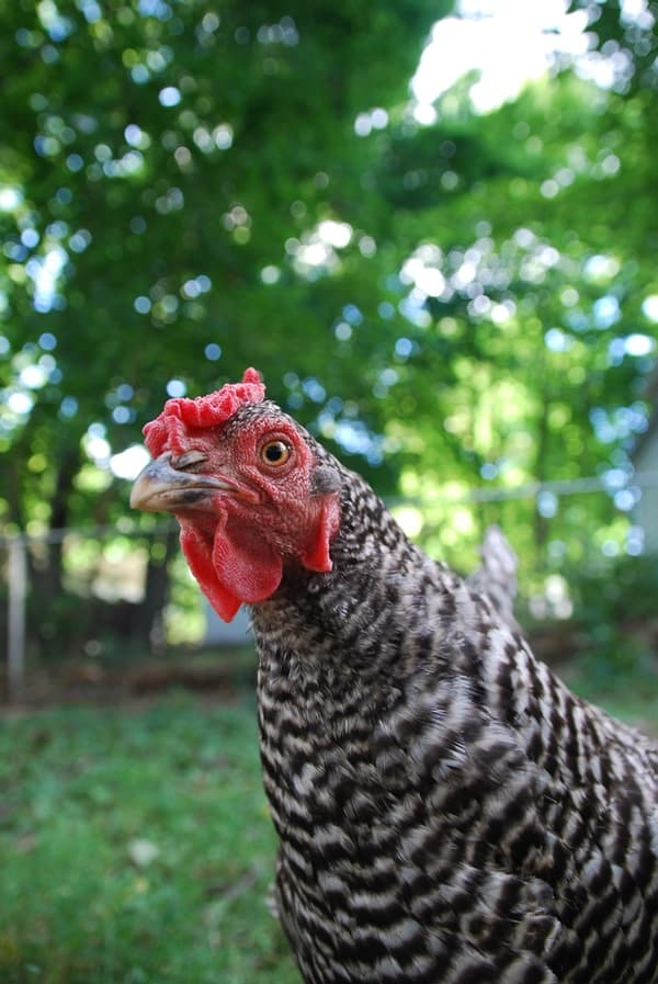 Are you making these 14 chicken keeping mistakes?