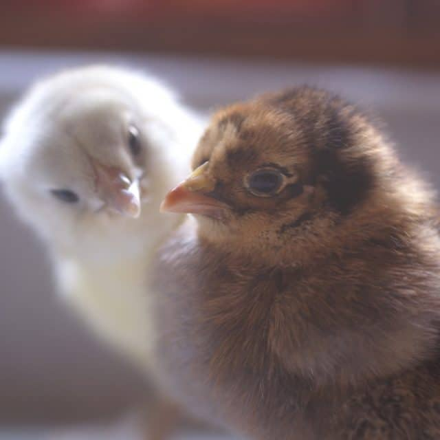 Are you making these chicken keeping mistakes?