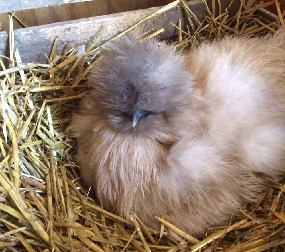 Chicken Bedding and Litter: Your Chicken Coop Options