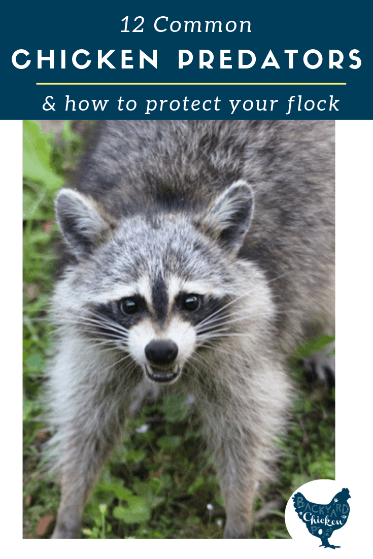 While predators can seem overwhelming and hopeless, there are many ways you can be proactive and protect your flock from common chicken predators.