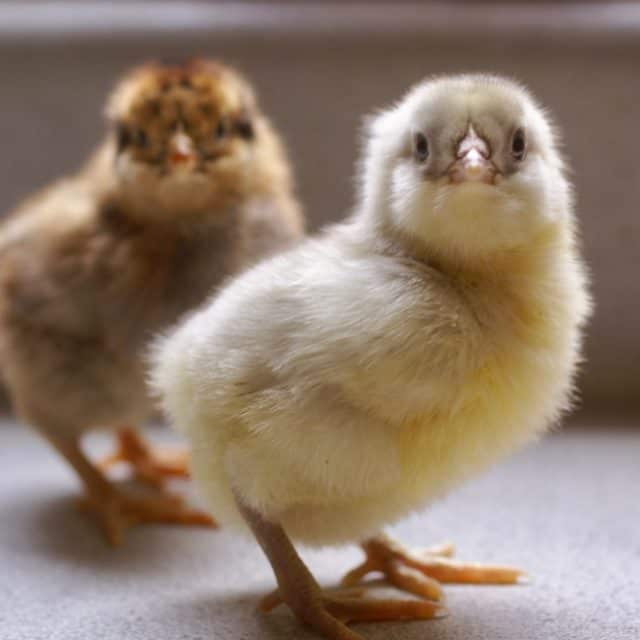 How to Buy Chicks that are Healthy and Happy!