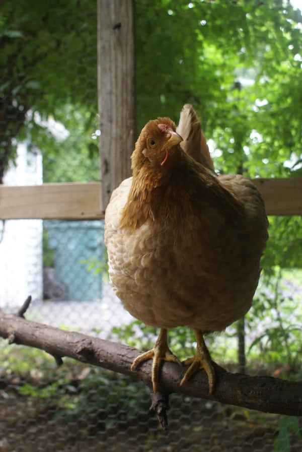 Are you truly ready to get chickens? Find out for sure by asking yourself these six questions before getting chickens.
