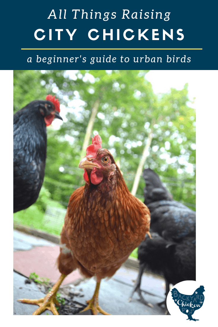 Thinking about raising chickens in the city? We've got you covered. Learn everything you need to  know to get started!