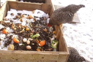 Composting with Chickens: How your flock can help dispose of waste and make great soil