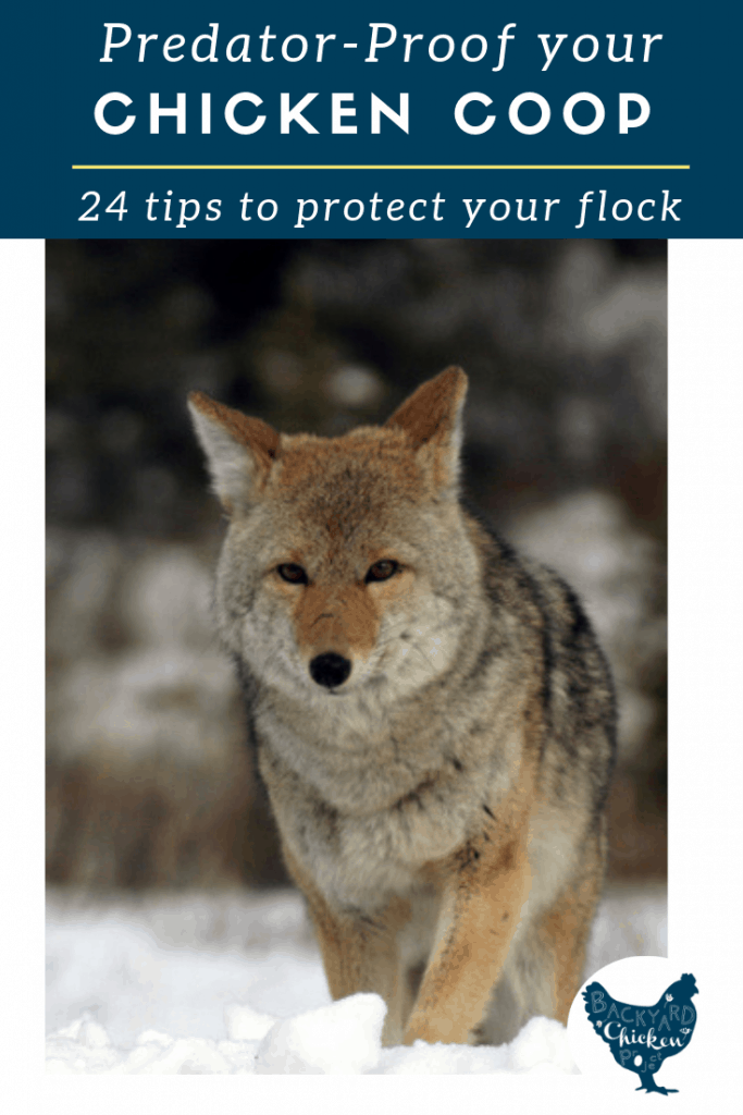 Don't risk losing your backyard chickens to predators! Keep your hens safe with these 24 features you'll find on a predator-proof chicken coop.