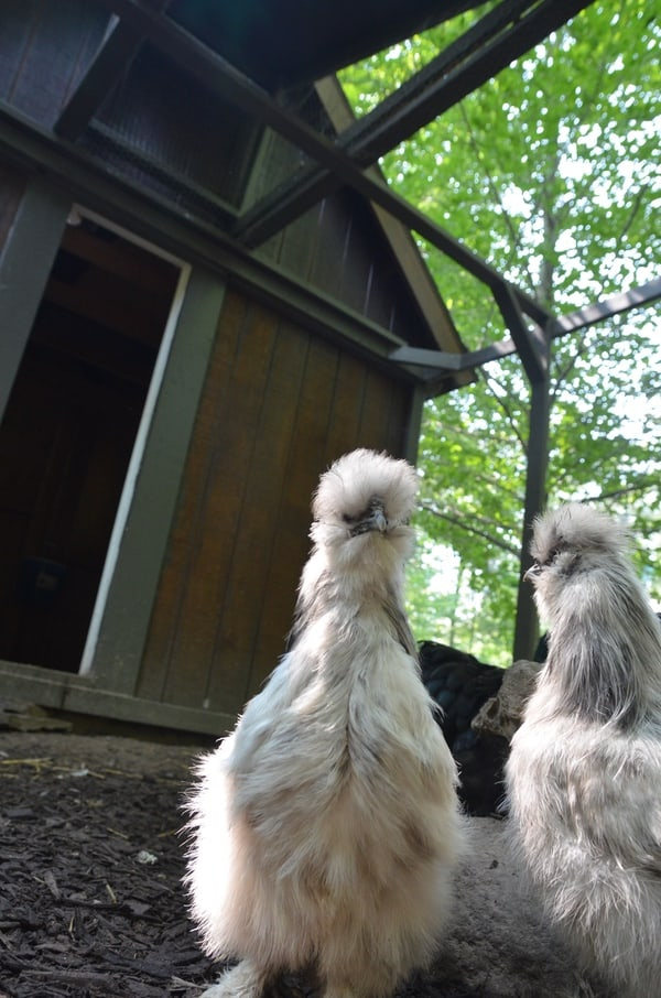 Building a safe chicken coop can be the difference between life and death for your flock. This all inclusive post covers everything you need to know about predator proofing your coop!