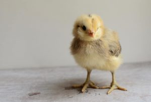 Figuring out what you need to brood chicks can be overwhelming, so we've made it easy with this chick shopping list!