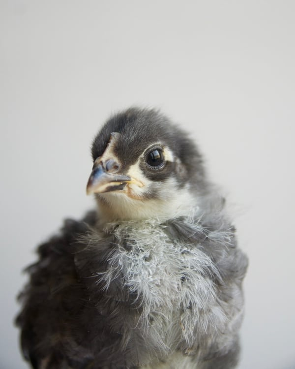A gray and white baby chick.