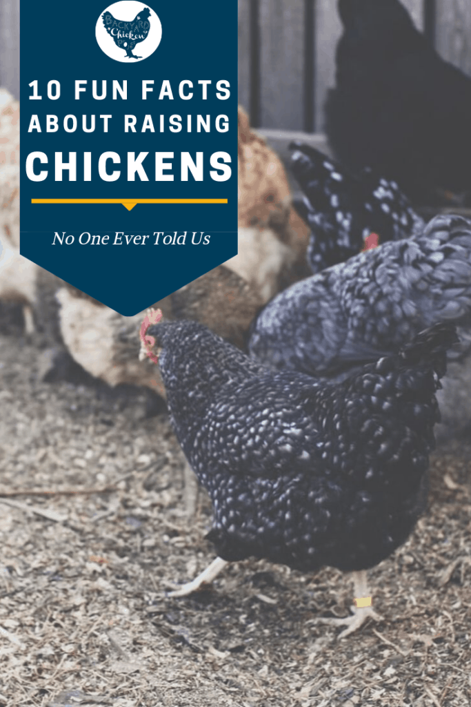 Most soon-to-be chicken keepers learn all they can before bringing home new chicks. Here are 10 bits of chicken information you might not read in the books. #homesteading #homestead #backyardchickens #chickens #raisingchickens #poultry