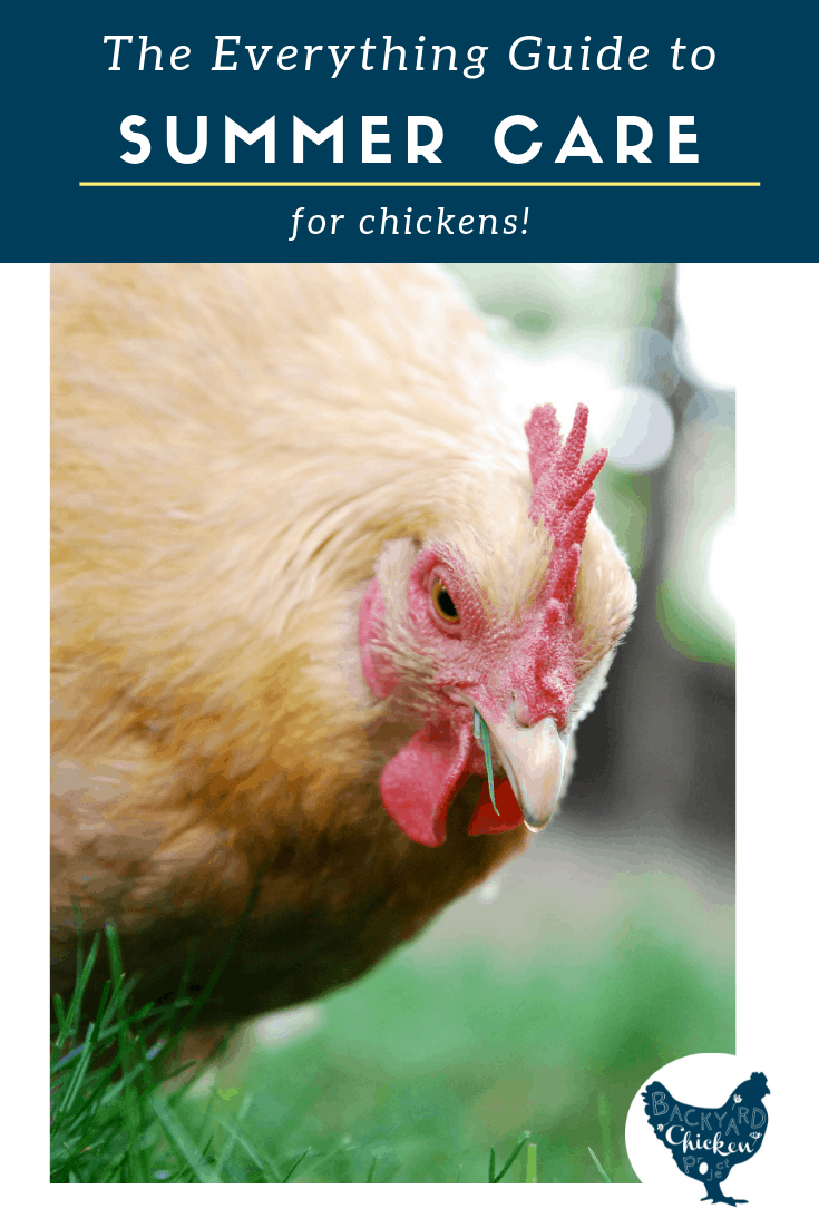 Everything you need to know to keep your chickens happy and healthy in the summer heat!