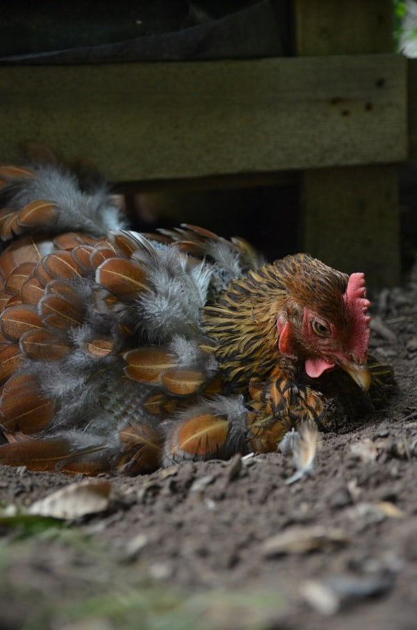 From flies to mites, there's seemingly no end to the creepy crawly critters that can infest your chicken coop. Find out how to identify and eradicate these chicken coop pests!