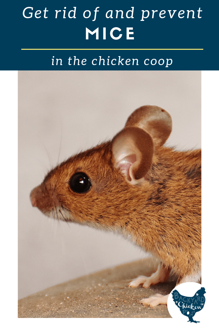 Is your chicken coop plagued by mice? Find out how to get rid of and prevent mice in the chicken coop now!