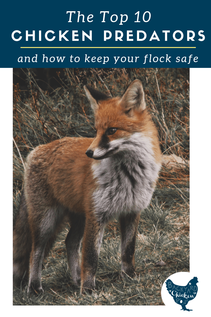 Predators can be truly devastating to your flock, but they don't have to be! Find out your most likely chicken predators and how to keep your flock safe.