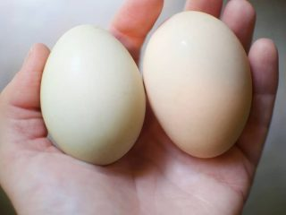 Egg abnormalities are a fact of life, but why do your hens lay weird eggs?