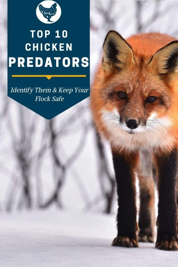 Predators can be truly devastating to your flock, but they don't have to be! Find out your most likely chicken predators and how to keep your flock safe.  #homesteading #homestead #backyardchickens #chickens #raisingchickens #poultry