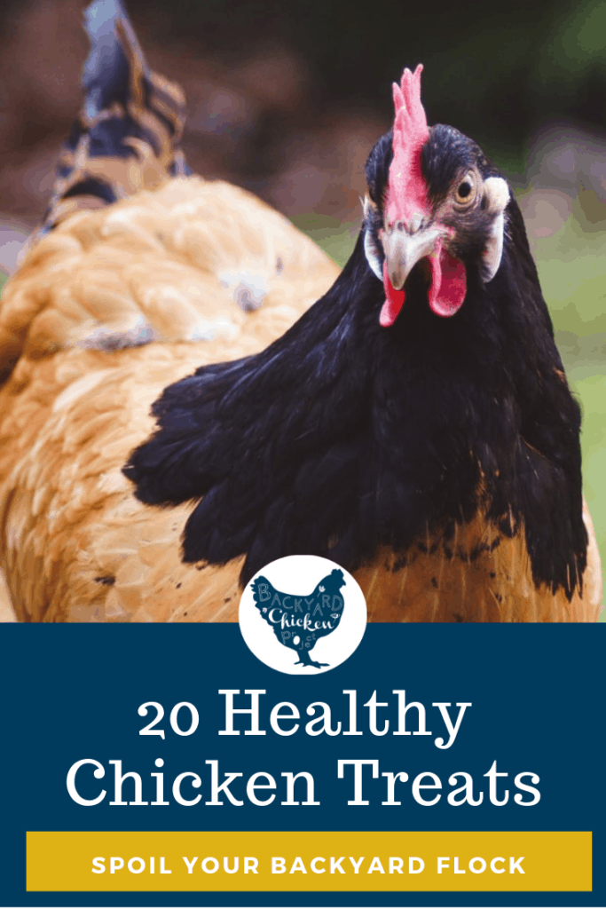 Here are 20 healthy chicken treats for your flock so you can do just that! #homesteading #homestead #backyardchickens #chickens #raisingchickens #poultry