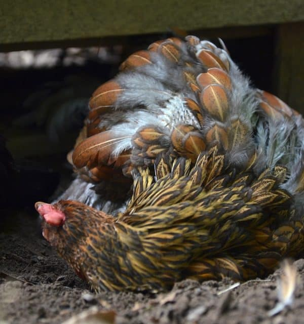Are your Chickens Molting? How to tell and how to help!
