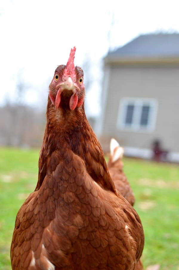 Top Chicken Breeds for Beginners